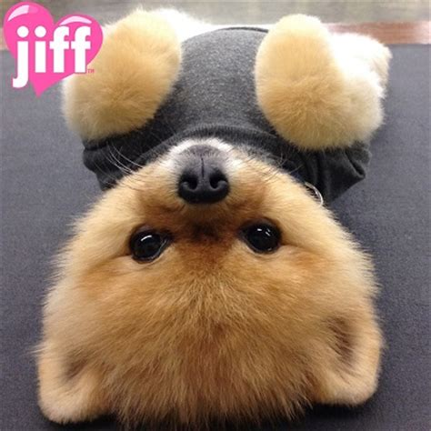 jiff pomeranian meet jiff the peanut butter colored pomeranian baxterboo