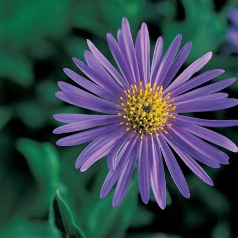 flowers and plants your guide to aster x frikartii sunset
