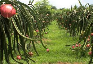 Bibit Buah Naga Di Jawa Timur bibit buah naga archives jual bibit tanaman dan pohon murah