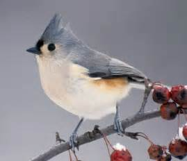 tufted titmouse animals photo 29861521 fanpop