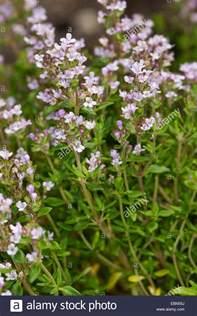 Garden Thyme by Garden Thyme Thyme Common Thyme Thymus Vulgaris