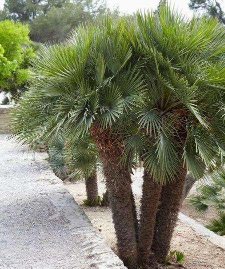 planting fan palm trees fan palm tree european fan palm for sale fast growing