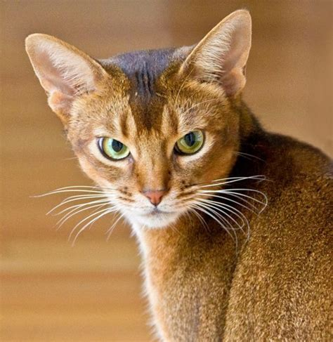wallpaper egypt cat cats images abyssinian cat hd wallpaper and background