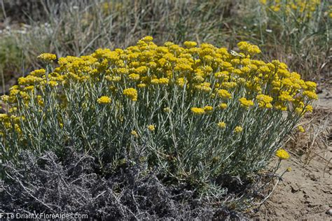 Immortelle Des Sables by Florealpes Helichrysum Stoechas Immortelle