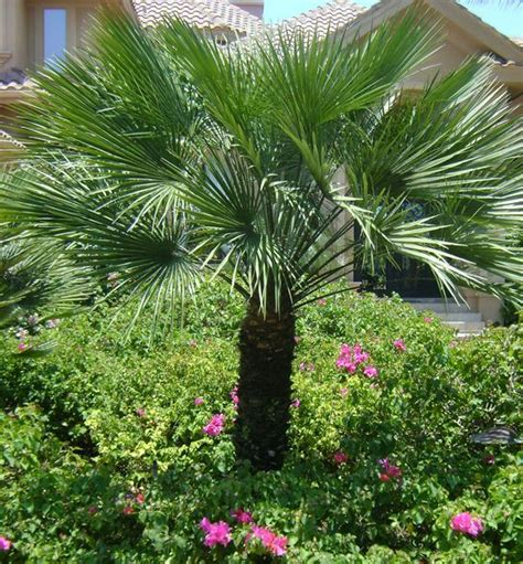 european mediterranean fan palm european fan palm chamaerops humilis 15 h plants of
