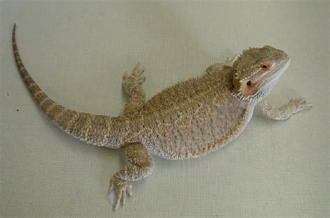 7 Things Not To Feed Your Bearded by Bearded Dragons Feeding Vca Animal Hospital