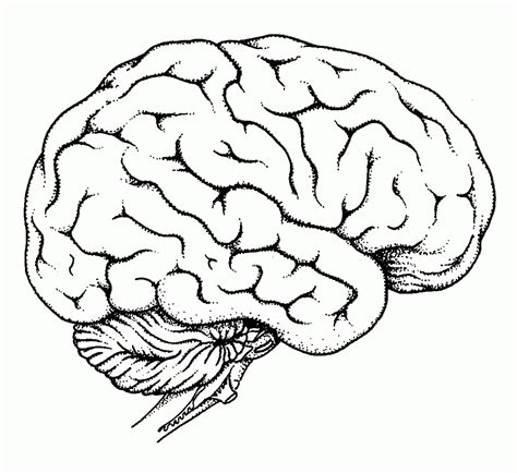 brain color human brain coloring page coloring home
