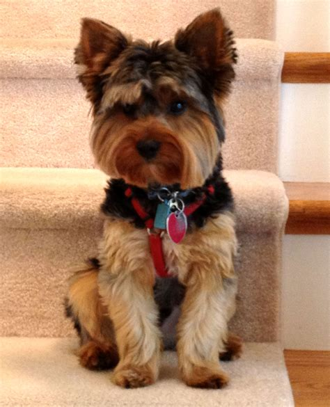 yorkie description yorkie haircuts and styles inspirational my handsome yorkie marley yorkie puppy