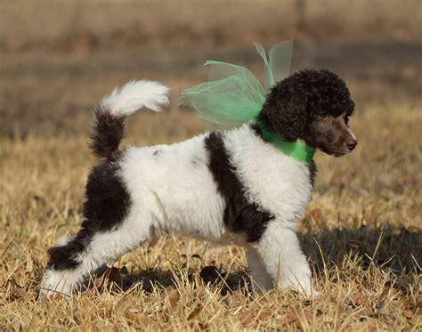 parti colored poodle mnj poodles beautiful multi colored parti and solid