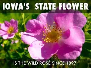 state flower of iowa iowa facts by arenwick