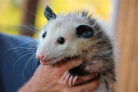 how to get rid of possums in your backyard how do you get a possum out of your garage home desain 2018