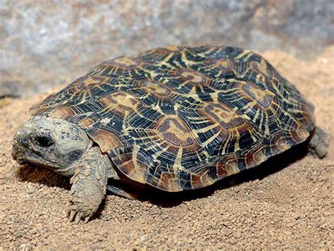 Tortoise L by Pancake Tortoise