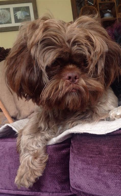 chocolate shih tzu for sale chocolate neutered shih tzu for sale telford shropshire pets4homes