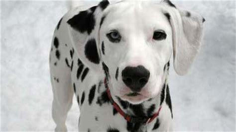 film anjing paling sedih erfin quot s blog info 10 anjing paling berbahaya di dunia