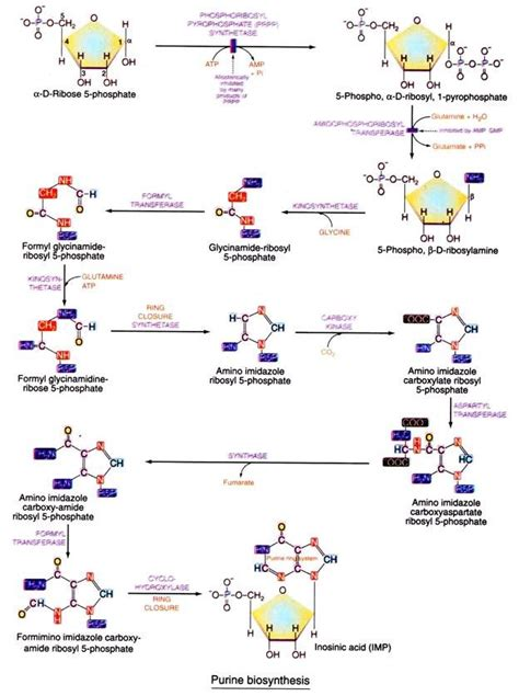 carbohydrates nucleotides biosynthesis of purine nucleotides pyrimidine nucleotides