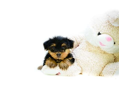 teacup yorkie columbus ohio yorkie puppies for adoption in columbus ohio by affordablepups on deviantart