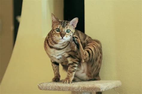 Do Bengal Cats Shed by Bengal Cats And Kittens Cat Breeds Pet Symptoms Guide