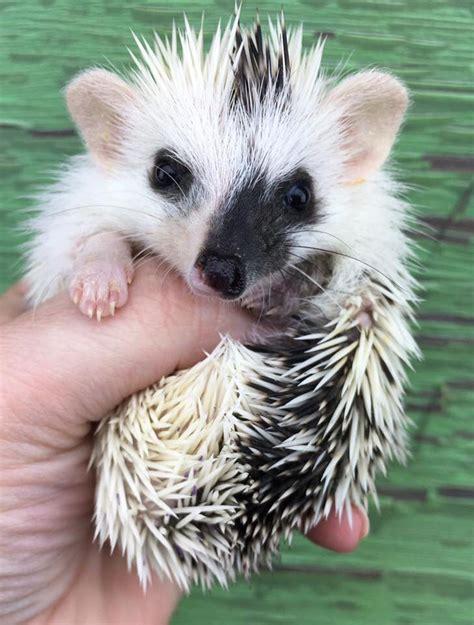 hedgehog colors split colours hedgehogs igel baby igel