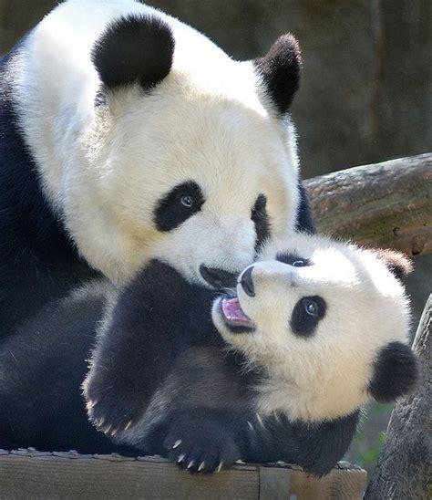 panda bear panda bear 0805080783 best 25 panda bears ideas on panda bear baby pandas and cute baby animals