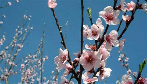 mandorli in fiore mandorlo in fiore perla di luce