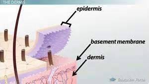 basement membrane of skin human skin layers function structure lesson