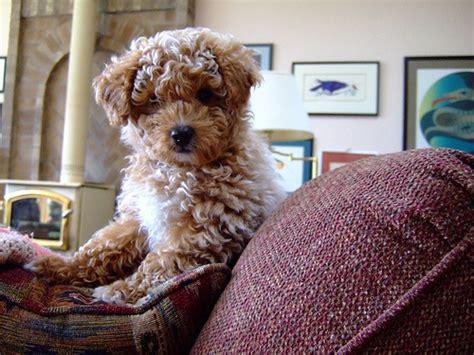poodle cross lifespan milyen kutyafajta a cockapoo a labradoodle 233 s a