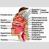 Human Epiglottis