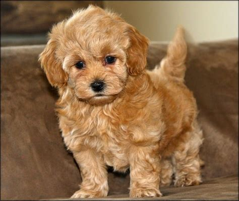 lifespan maltese poodle mix maltipoo escaparatedemascotas