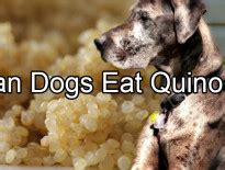 can dogs quinoa can dogs eat ham pethority dogs