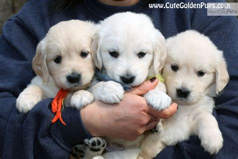 golden retriever puppy nj golden retriever puppy for sale near jersey new jersey 1d8c558a b561