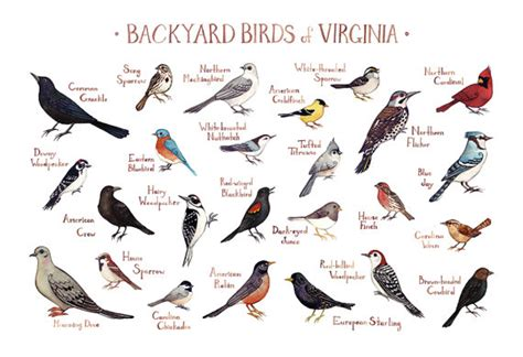 virginia backyard birds field guide art print watercolor