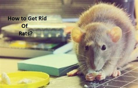 How To Get Rid Of Rats In The Backyard by Home Remedies For Myopia Treatment