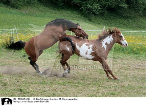 pferde beim decken mh 01488 hengst und stute beim deckakt stallion mating