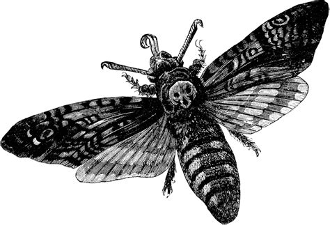 death s head hawkmoth clipart etc