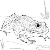 leopard frog coloring page ausmalbild teichfrosch ausmalbilder kostenlos zum