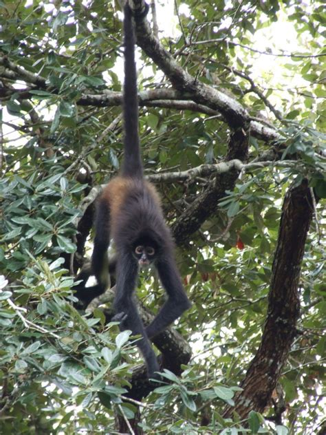 monkeys swinging in trees the belize zoo the road chose me