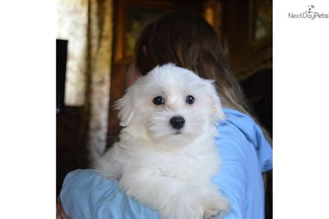 coton de tulear puppies price dusty coton de tulear puppy for sale near springfield missouri c63ddfc3 a301
