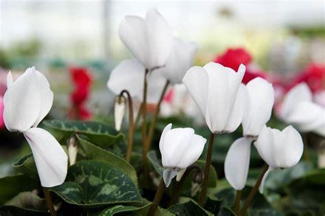 cura dei ciclamini in vaso ciclamini cura piante da interno come curare i ciclamini