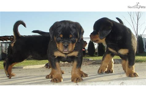 rottweiler puppies utah rottweiler puppy for sale near ogden clearfield utah a3983634 8241