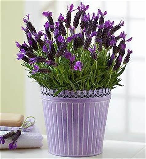131 best images about all lavender in pots containers on pinterest