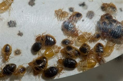 bed bug nest pictures control exterminating pest control nyc control exterminating