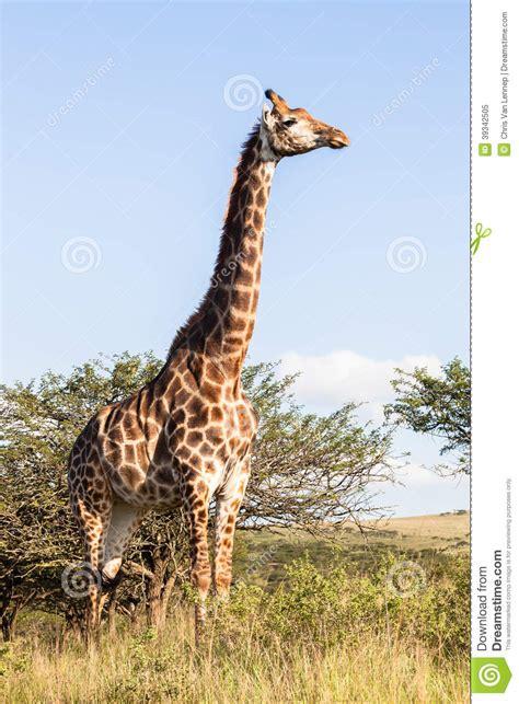imagenes de jirafas tumblr desierto de los animales de la jirafa de la fauna foto de