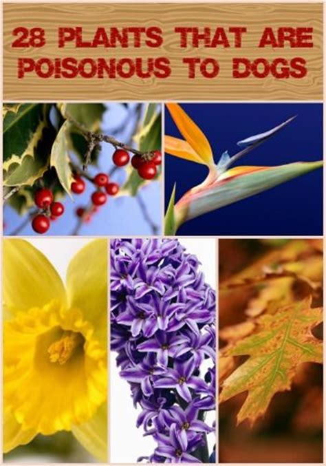 what plants are poisonous to dogs 28 plants that are poisonous to dogs i loooove animals