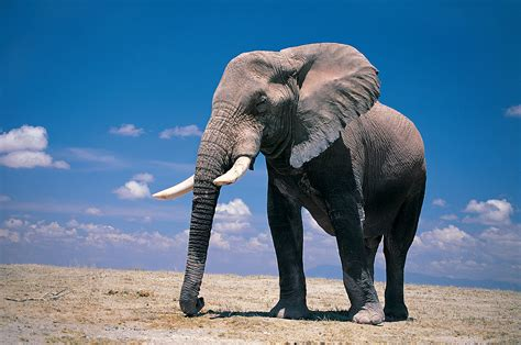 elephant wallpapers  long wallpapers