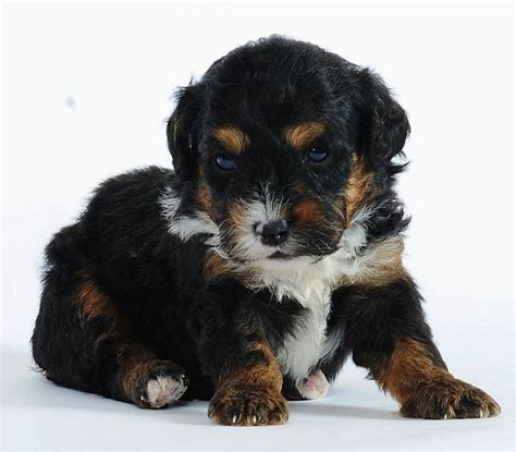 tiny bernedoodle puppies for sale 71 best images about bernedoodle on poodles poodle mix and bernese