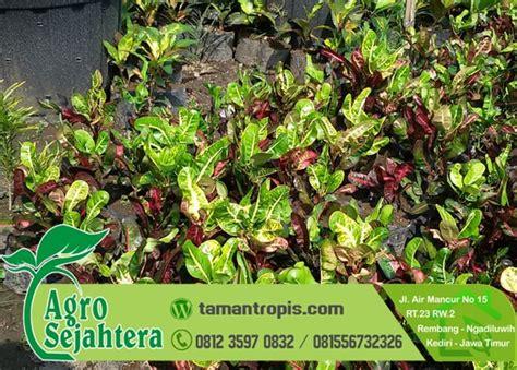 Bunga Puring Kura Kura Hias 1 Bibit jual tanaman hias puring kirana