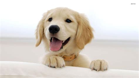 puppy wallpapers hd wallpaper cave