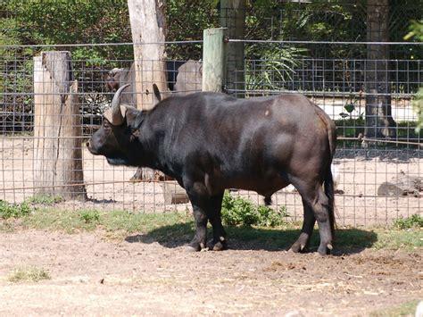 Buffalo L by The Zoo Buffalo