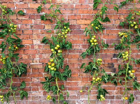 tomato vines growing stock image image of tomatoes gardening 33640807