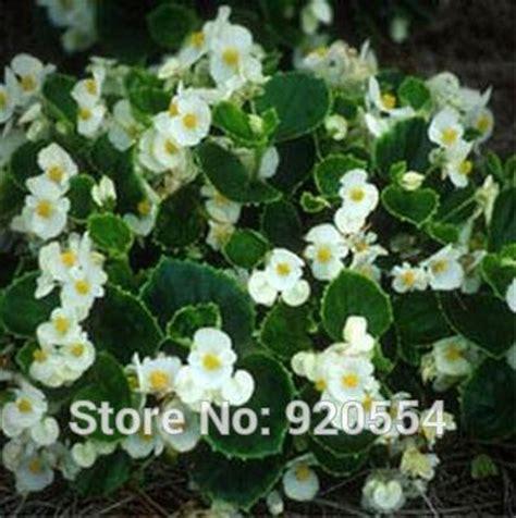 Benih Biji Buah Bonsai Melon putih lilin bunga beli murah putih lilin bunga lots from